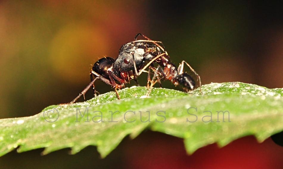 Ants Fighting